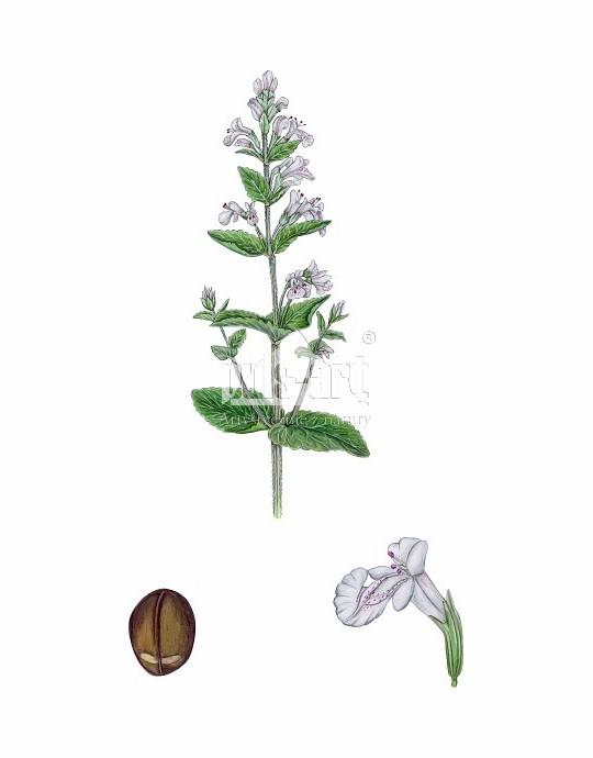 Kocimiętka właściwa (Nepeta cataria)