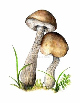 Koźlarz babka (Leccinum scabrum)