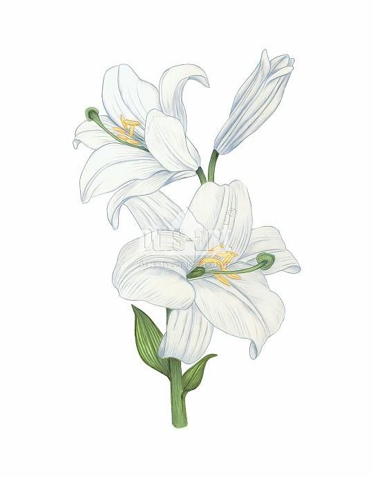 Lilia biała (Lilium candidum)