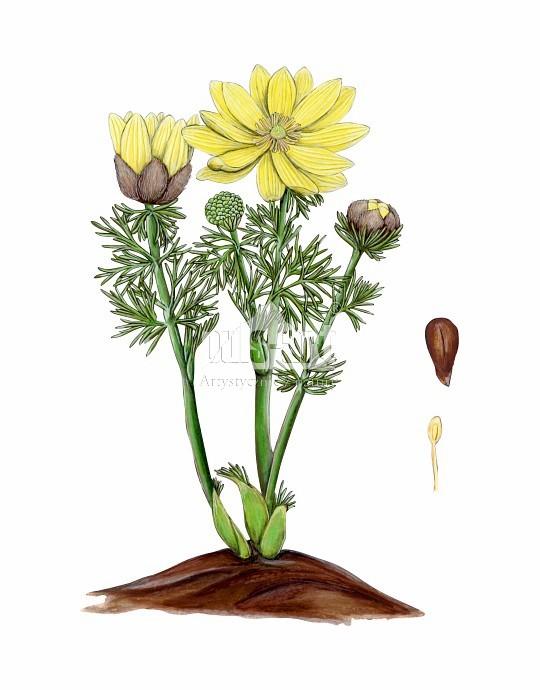 Miłek wiosenny (Adonis vernalis)