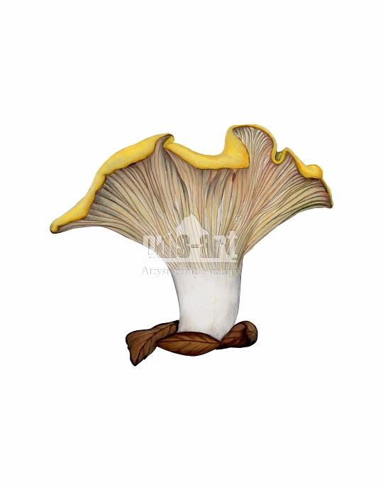 Pieprznik jadalny (Cantharellus cibarius)