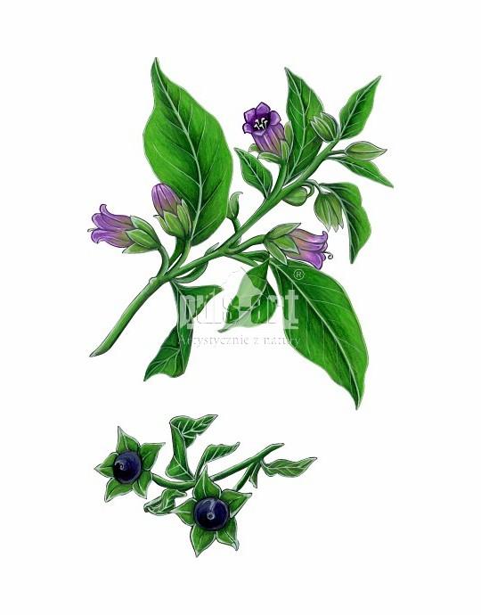 Pokrzyk wilcza jagoda (Atropa belladonna)