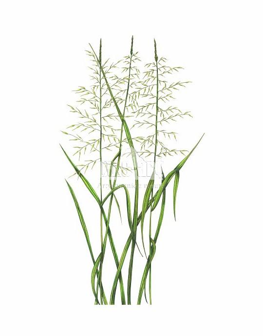 Rajgras wyniosły (Arrhenatherum elatius)