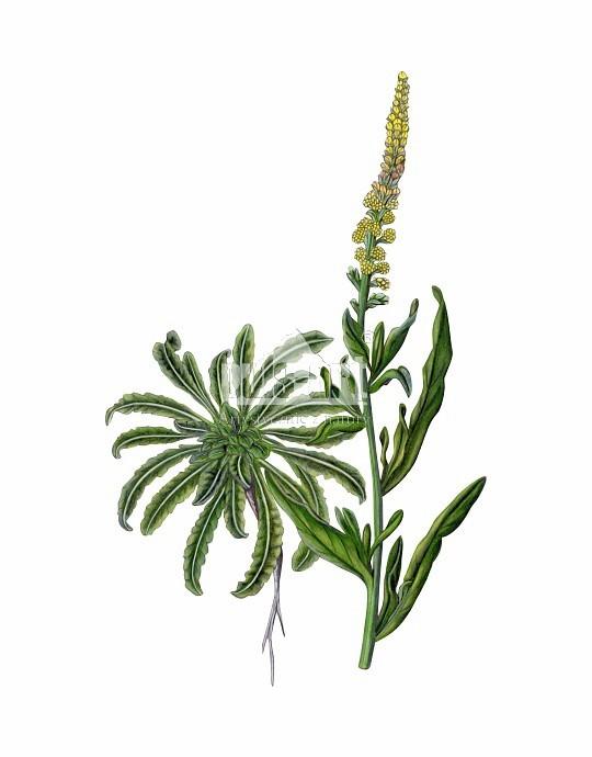 Rezeda żółta (Reseda lutea)