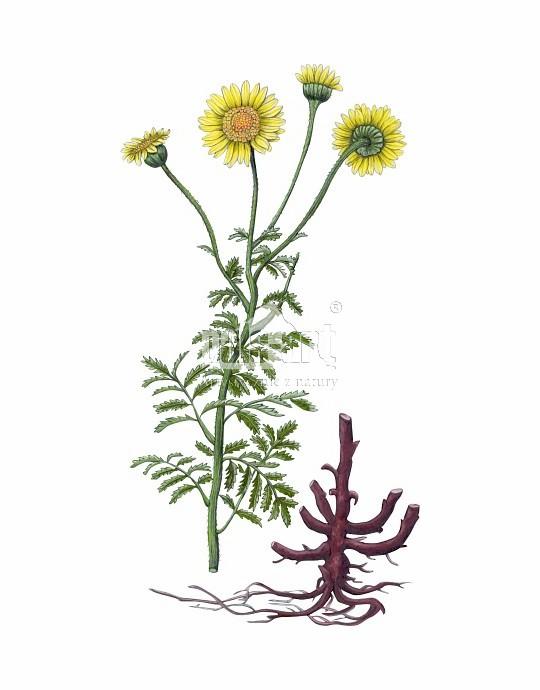 Rumian żółty (Anthemis tinctoria)