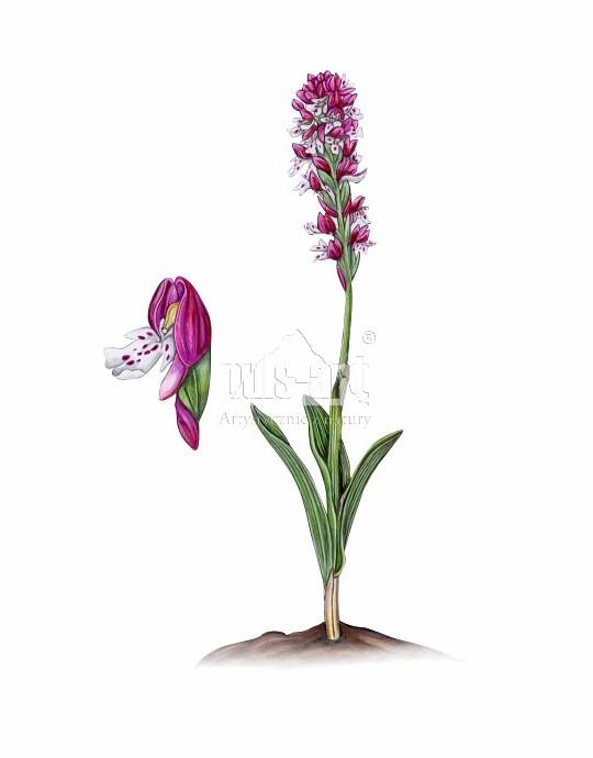 Storczyk drobnokwiatowy (Orchis ustulata)