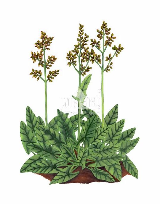 Szczaw zwyczajny (Rumex acetosa)