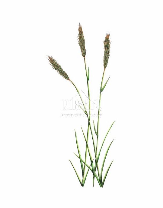Tomka wonna (Anthoxanthum odoratum)