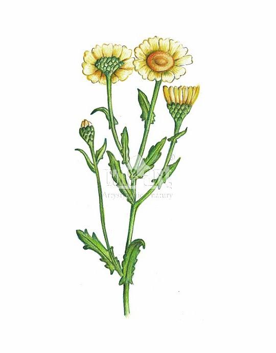 Złocień polny (Chrysanthemum segetum)