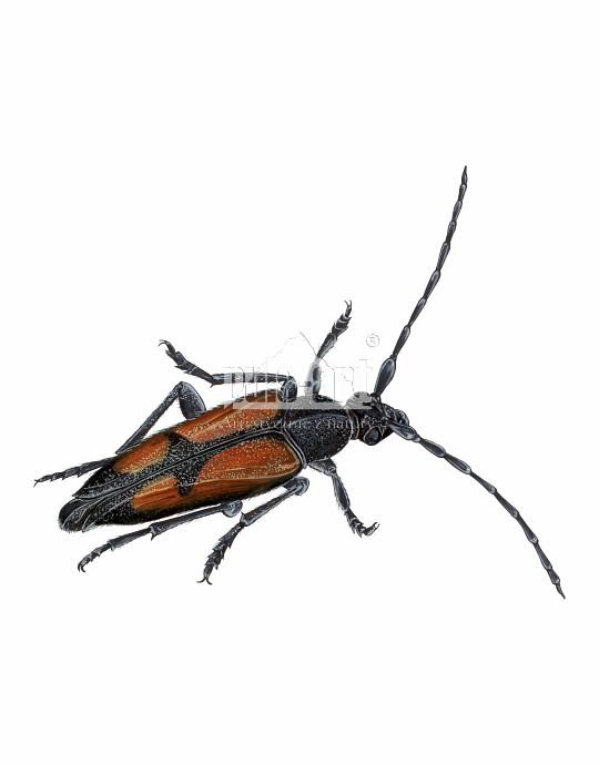 Strangalia przepasana (Stenurella bifasciata)