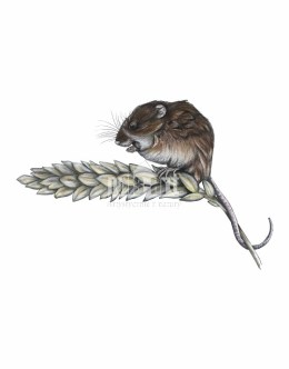 Badylarka pospolita (Micromys minutus)