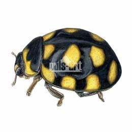Biedroneczka łąkowa (Coccinula quatuordecimpustulata)