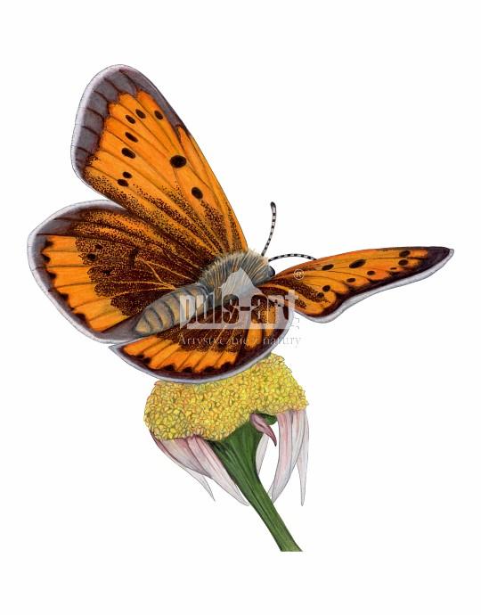 Czerwończyk nieparek (Lycaena dispar)