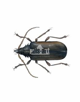 Dyląż garbarz (Prionus coriarius)