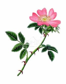 Dzika róża (Rosa canina)