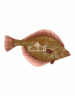 Flądra (Platichthys flesus)