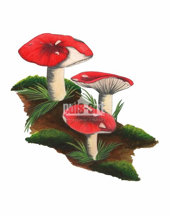 Gołąbek buczynowy (Russula nobilis)