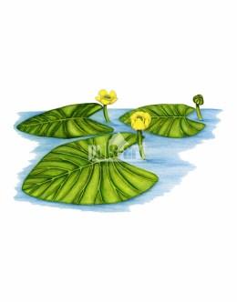 Grążel żółty (Nuphar lutea)