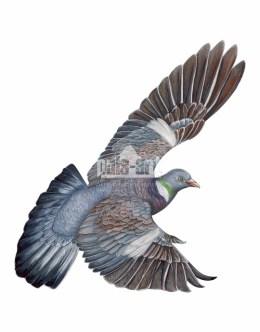 Grzywacz (Columba palumbus)