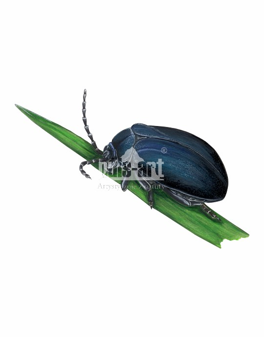 Hurmak olchowiec (Agelastica alni)
