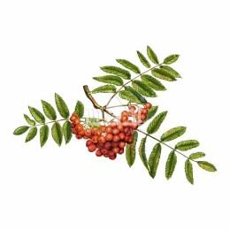 Jarząb pospolity (Sorbus aucuparia)