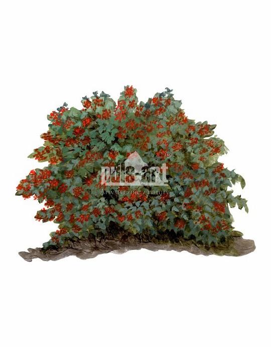 Kalina koralowa (Viburnum opulus)