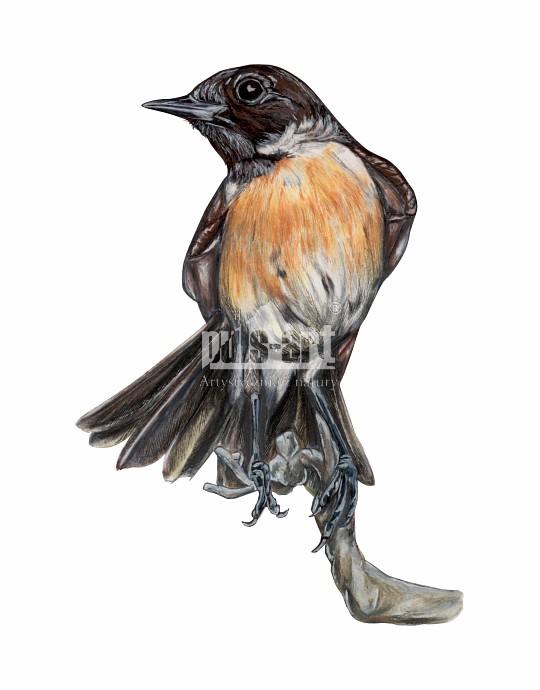 Kląskawka zwyczajna (Saxicola rubicola) - samiec