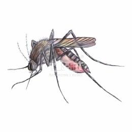 Komar widliszek (Anopheles maculipennis)