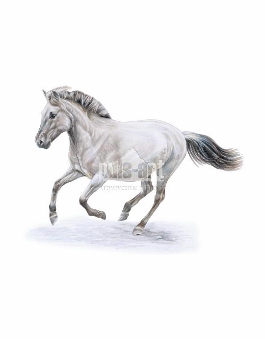 Konik polski (Equus ferus caballus)