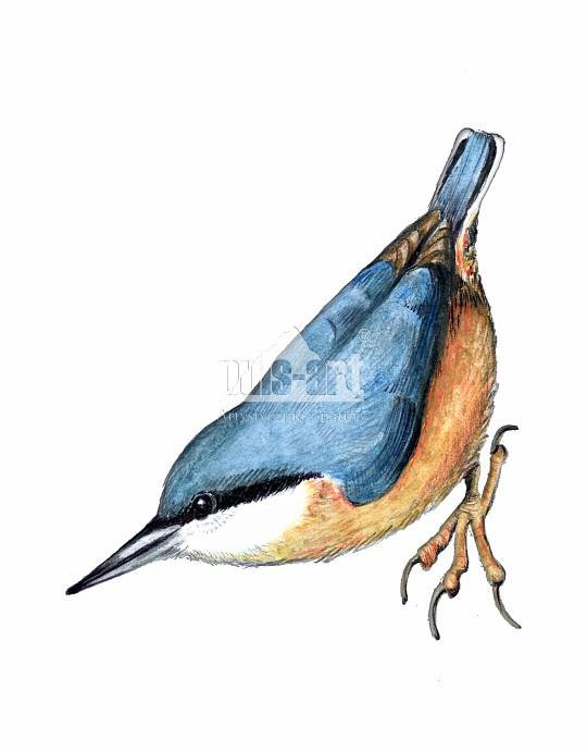 Kowalik zwyczajny (Sitta europaea)