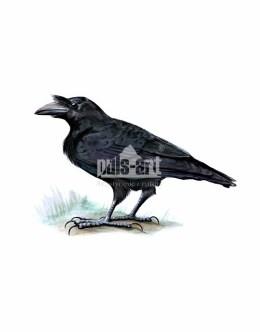 Kruk zwyczajny (Corvus corax)