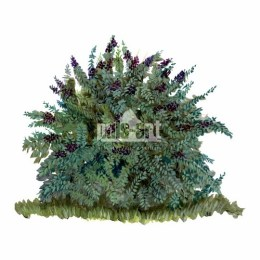 Ligustr pospolity (Ligustrum vulgare)