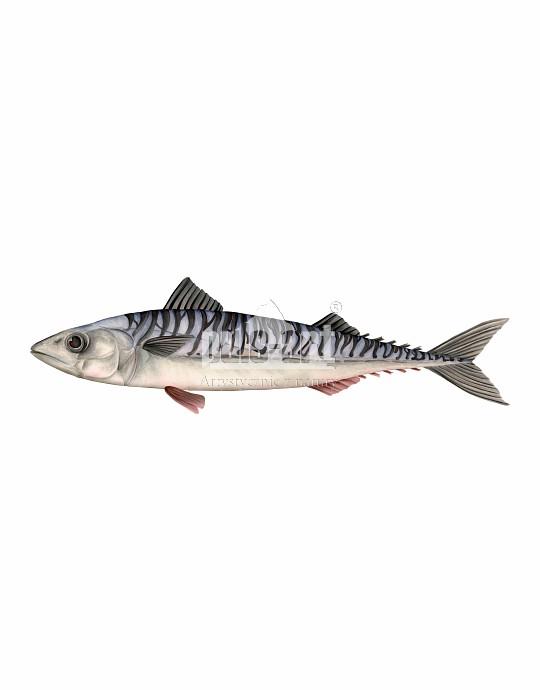 Makrela atlantycka (Scomber scombrus)