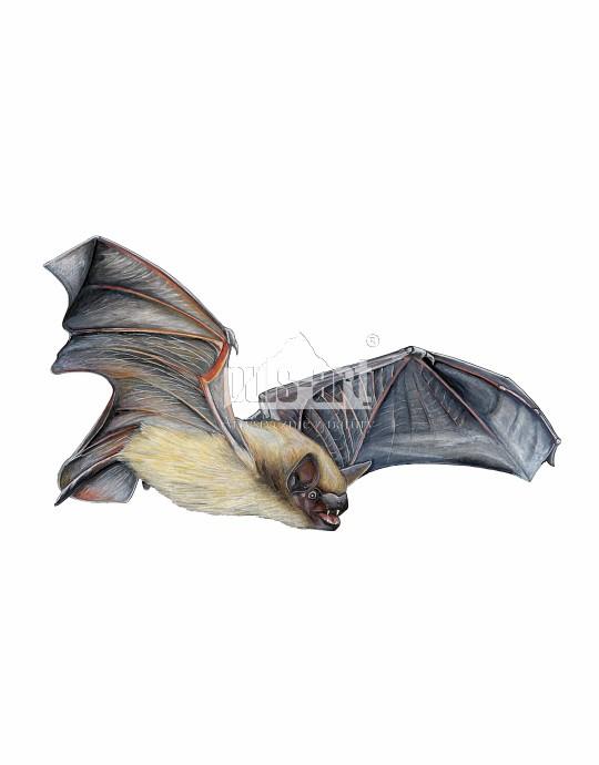Mroczek późny (Eptesicus serotinus)