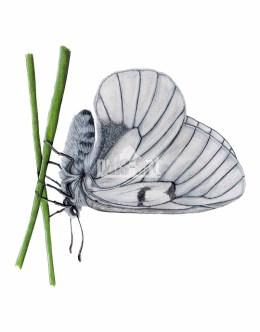 Niepylak mnemozyna (Parnassius mnemosyne)