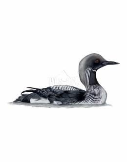 Nur czarnoszyi (Gavia arctica)