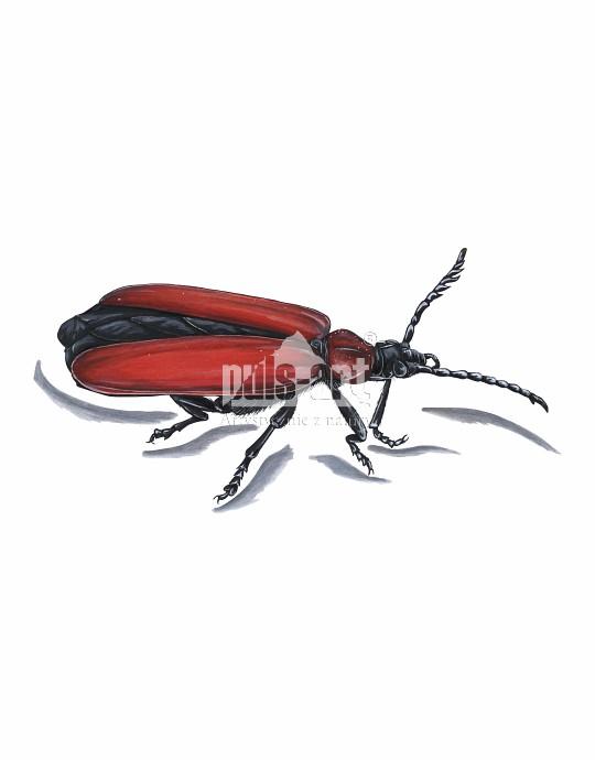 Ogniczek większy (Pyrochroa coccinea)