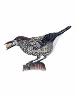 Orzechówka zwyczajna (Nucifraga caryocatactes)
