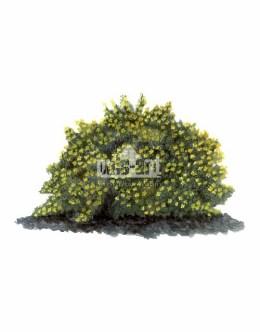 Pięciornik krzewiasty (Potentilla fruticosa)