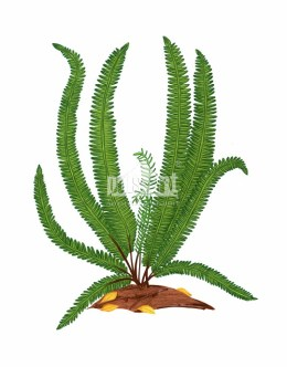 Podrzeń żebrowiec (Blechnum spicant)