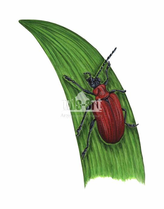 Poskrzypka liliowa (Lilioceris lilii)