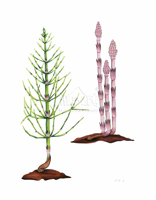 Skrzyp polny (Equisetum sylvaticum)