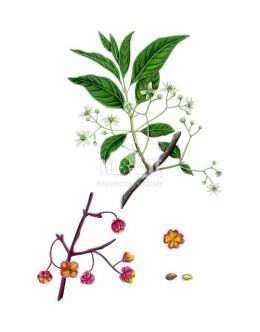 Trzmielina pospolita (Euonymus europaeus)