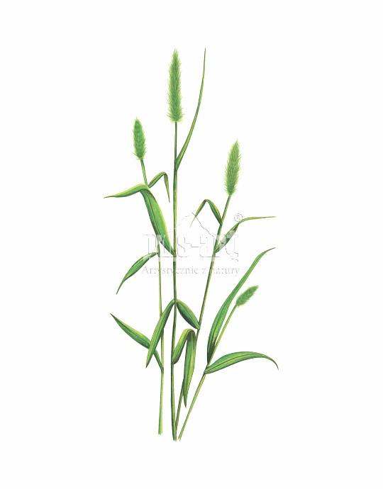 Włośnica zielona (Setaria viridis)
