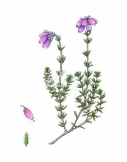 Wrzosiec bagienny (Erica tetralix)