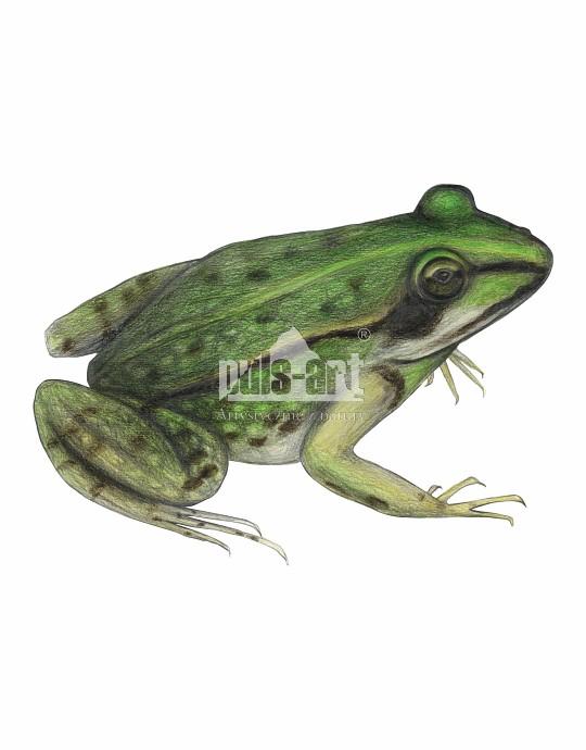 Żaba wodna (Rana esculenta)