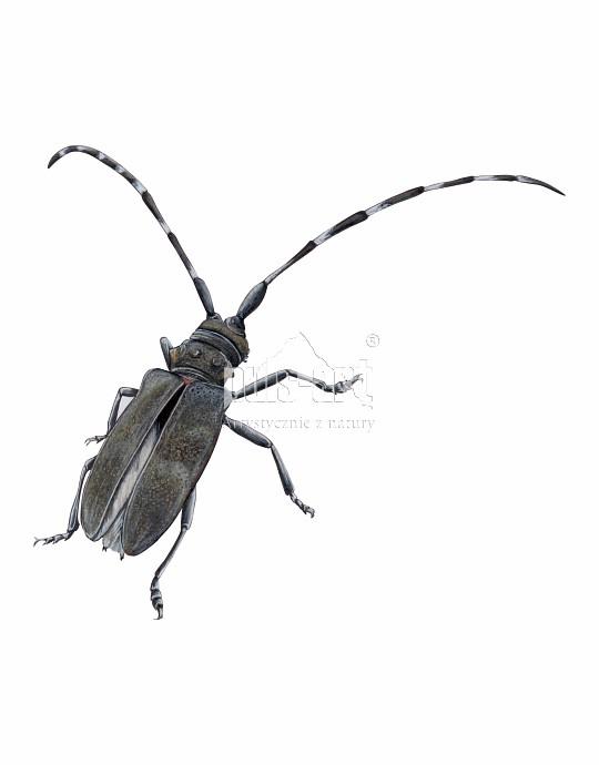 Żerdzianka sosnówka (Monochamus galloprovincialis)