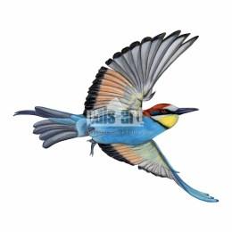 Żołna zwyczajna (Merops apiaster)