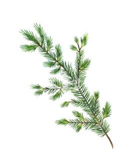 Sosna zwyczajna (Pinus sylvestris)