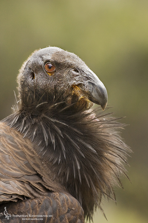 Juvenile male California Condor, Pinnacles National Monument